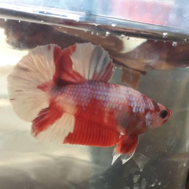 Ikan Cupang Plakat Nemo Cooper Shopee Indonesia