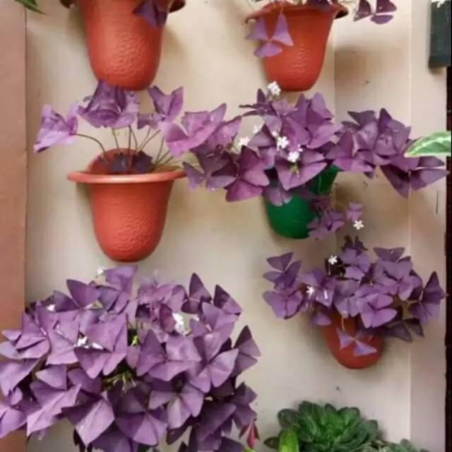Tanaman Hias Bunga Kupu2 Tanaman Gantung Bunga Kupu Kupu Shopee Indonesia