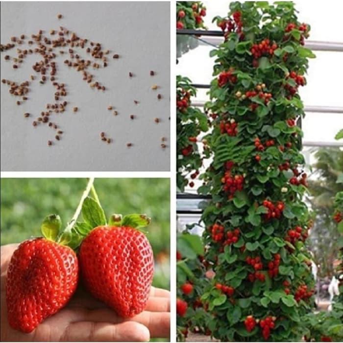 Benih Biji Buah Strawberry Giant Strawberi Jumbo Isi 100 Biji Shopee Indonesia