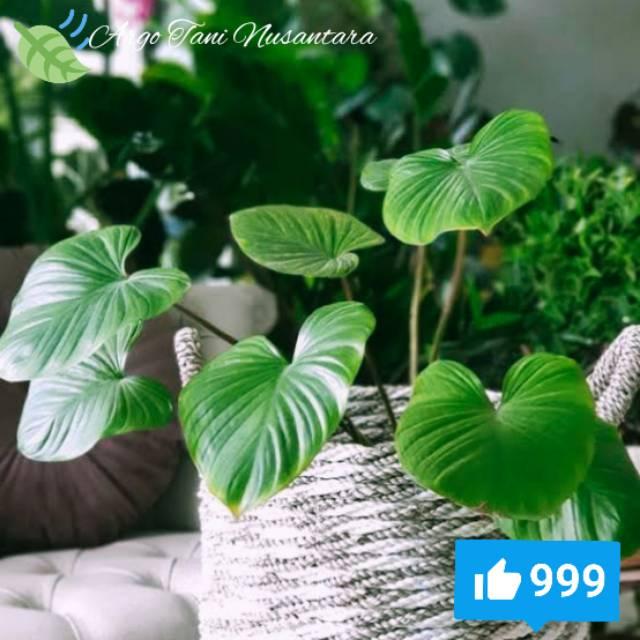 Tanaman Hias Herbal Homalomena Hijau Javanic Nampu Tanaman Hias Herbal Murah Shopee Indonesia