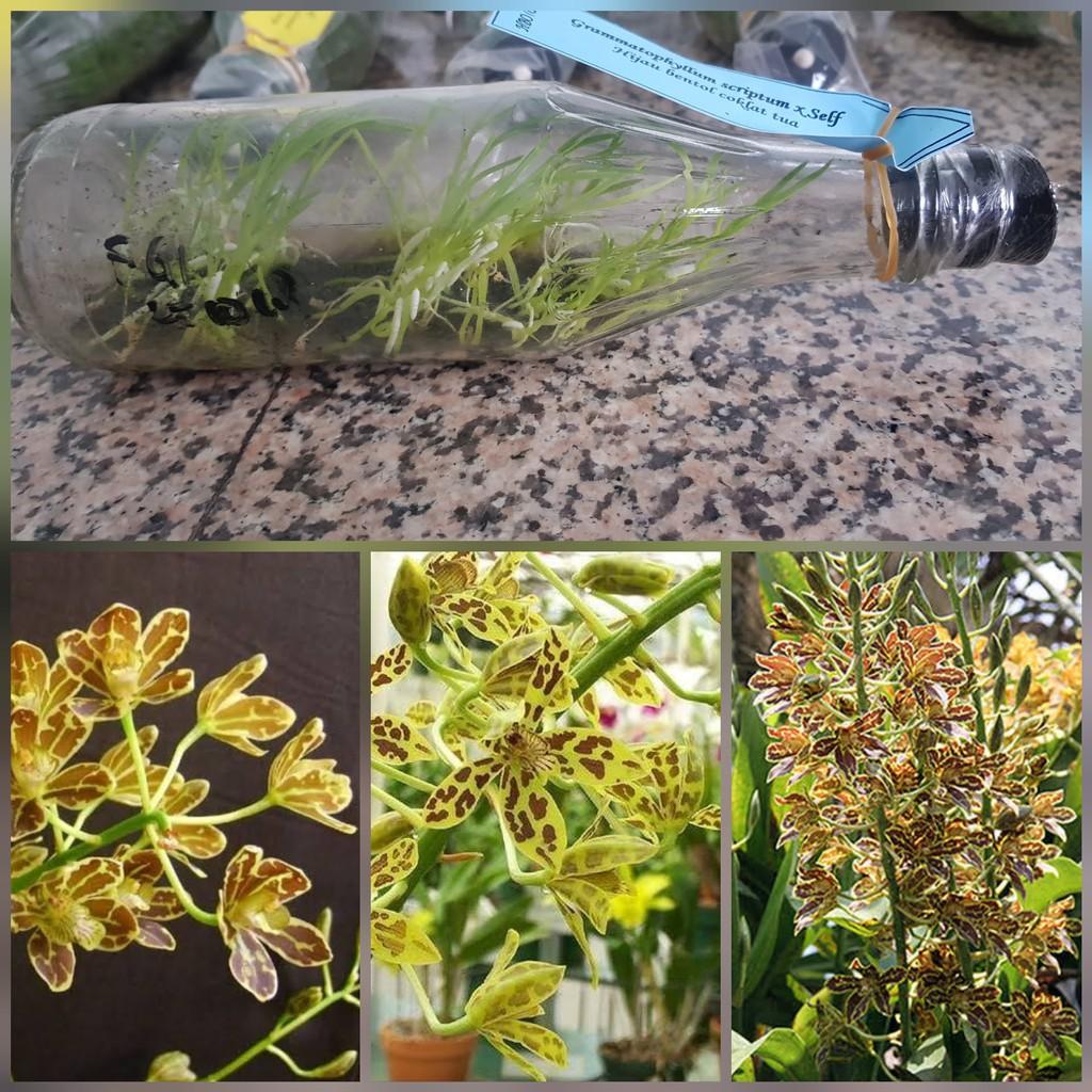 Bibit Anggrek Spesies Dalam Botol Grammatophyllum Scriptum Anggrek Macan Shopee Indonesia