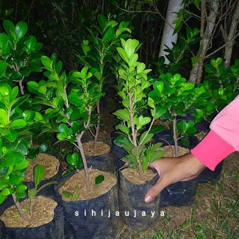 Beringin Kompakta bahan bonsai