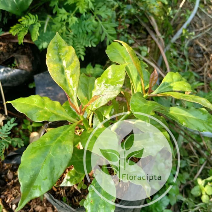 Bibit Pohon Jarum 7 Tujuh Bilah Tanaman Daun Getah Bunga Herbal Shopee Indonesia