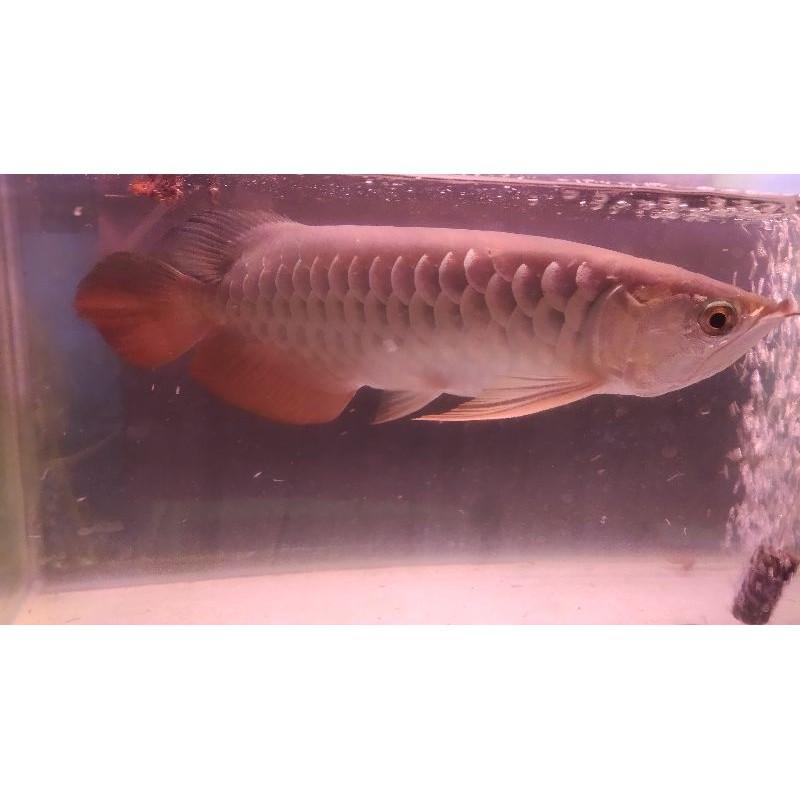Arwana Golden Red 35 cm Grade A+++ Premium Quality Chip Sertifikat Ikan Unik Murah Super Butuh Uang