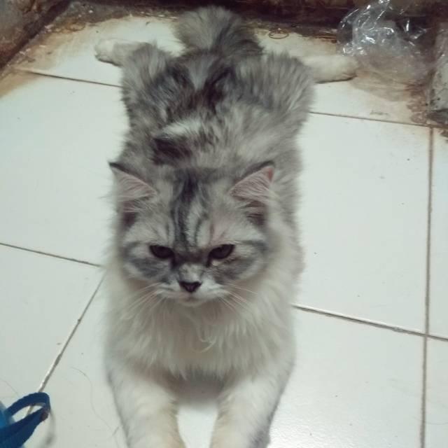 Kucing Persia Lahir Perkawinan Silang Sama Peaknose Calico Bigbone Shopee Indonesia