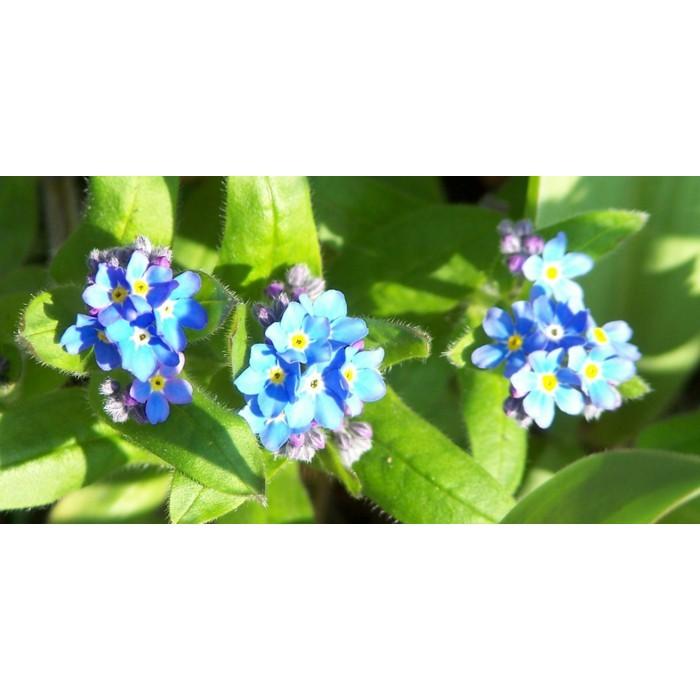 Amefurashi Bibit / Benih / Seeds Bunga Forget Me Not Flower Mudah Tumbuh   Shopee Indonesia