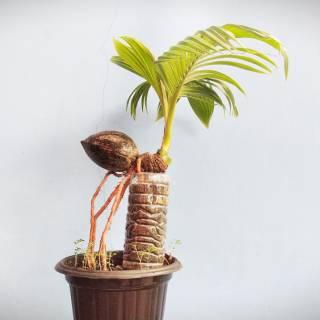 Bonsai Kelapa Gaya Gurita Shopee Indonesia