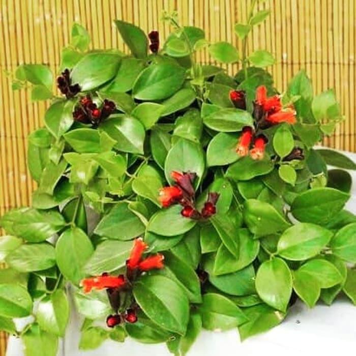 Tanaman Hias Gantung Lipstik Bunga Merah Aeschynanthus Radicans Shopee Indonesia