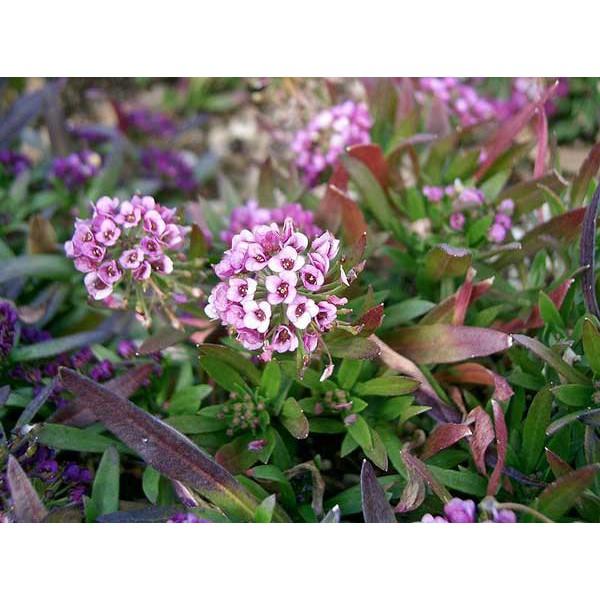 Beli Amefurashi Bibit / Benih / Seeds Money Plant Tanaman Unik Silver Cocok Untuk Rangkaian Bunga