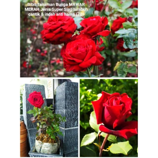 Bijit Tanaman Pohon Bunga Mawar Merah Jenis Super Wangi Harum Indah Cantik Berbunga Hias Taman Rumah Shopee Indonesia