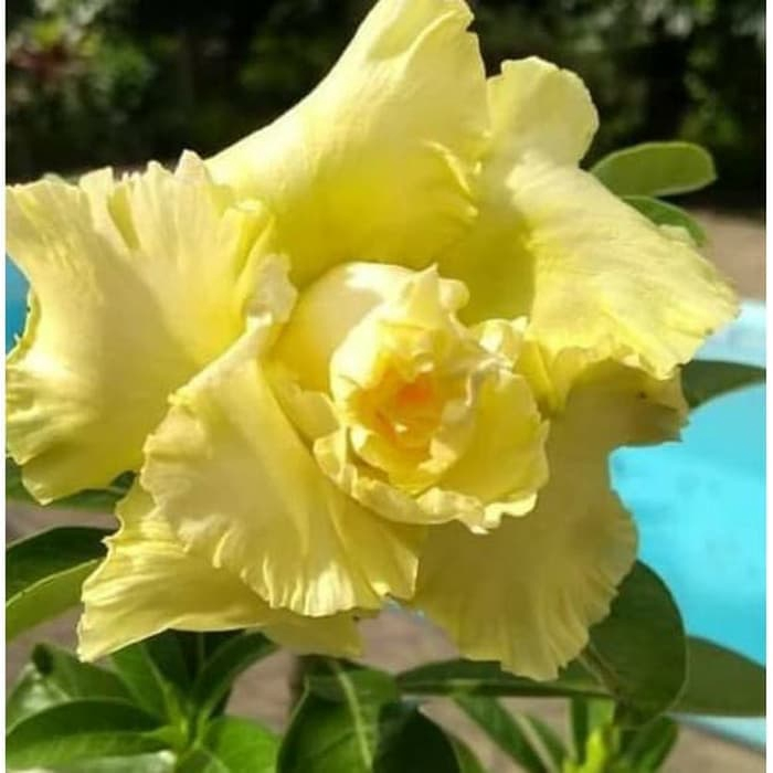 Bibit Tanaman Kamboja Adenium Bunga Kuning Kamboja Jepang Shopee Indonesia