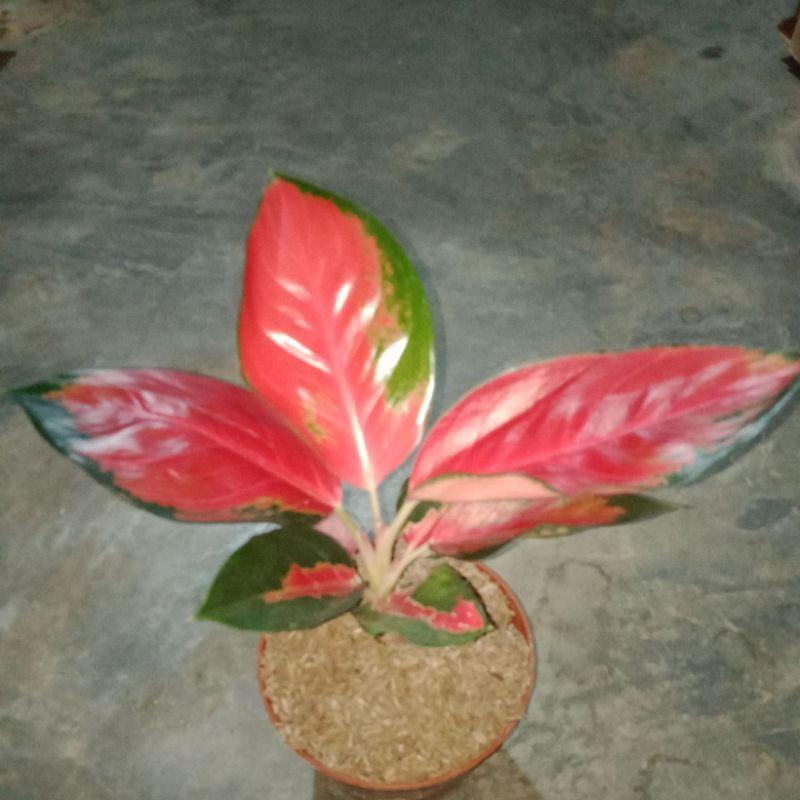 bibit bunga aglonema suksom jaipong indoor cantik