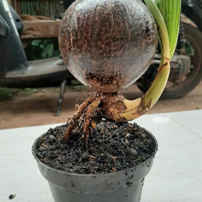 Bonsai Kelapa Minion Bahan Bonsay Batok Kelapa Nungging Shopee Indonesia