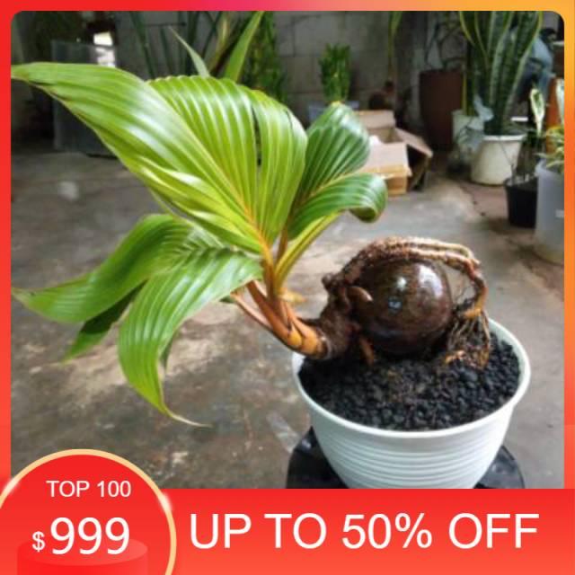 Jual bonsai kelapa full bonsai - bonsai - kelapa unik khusus gojek