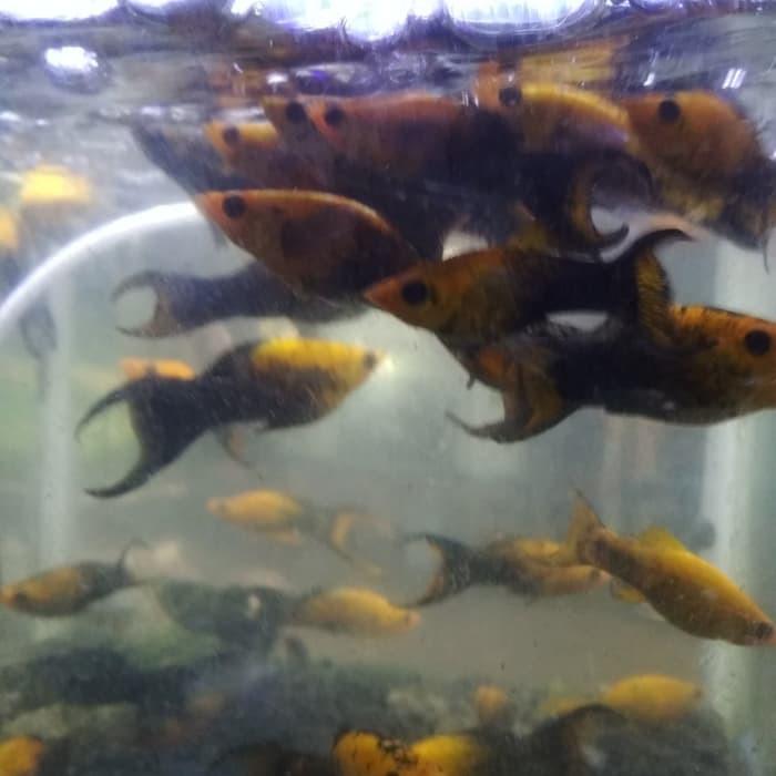 Ikan Molly Pembersih Algae Golden Black Shopee Indonesia