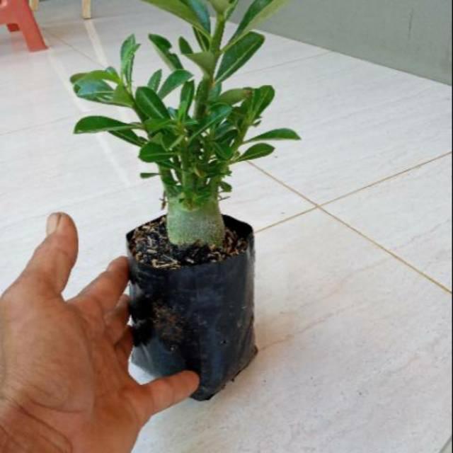 BONSAI ADENIUM ARABICUM-bibit tanaman bonsai adenium arabicum