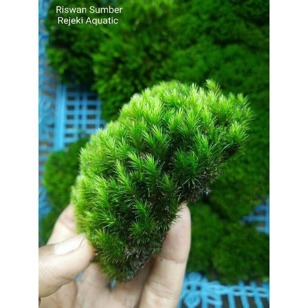 Tanaman Paludarium Star Moss Darat Shopee Indonesia