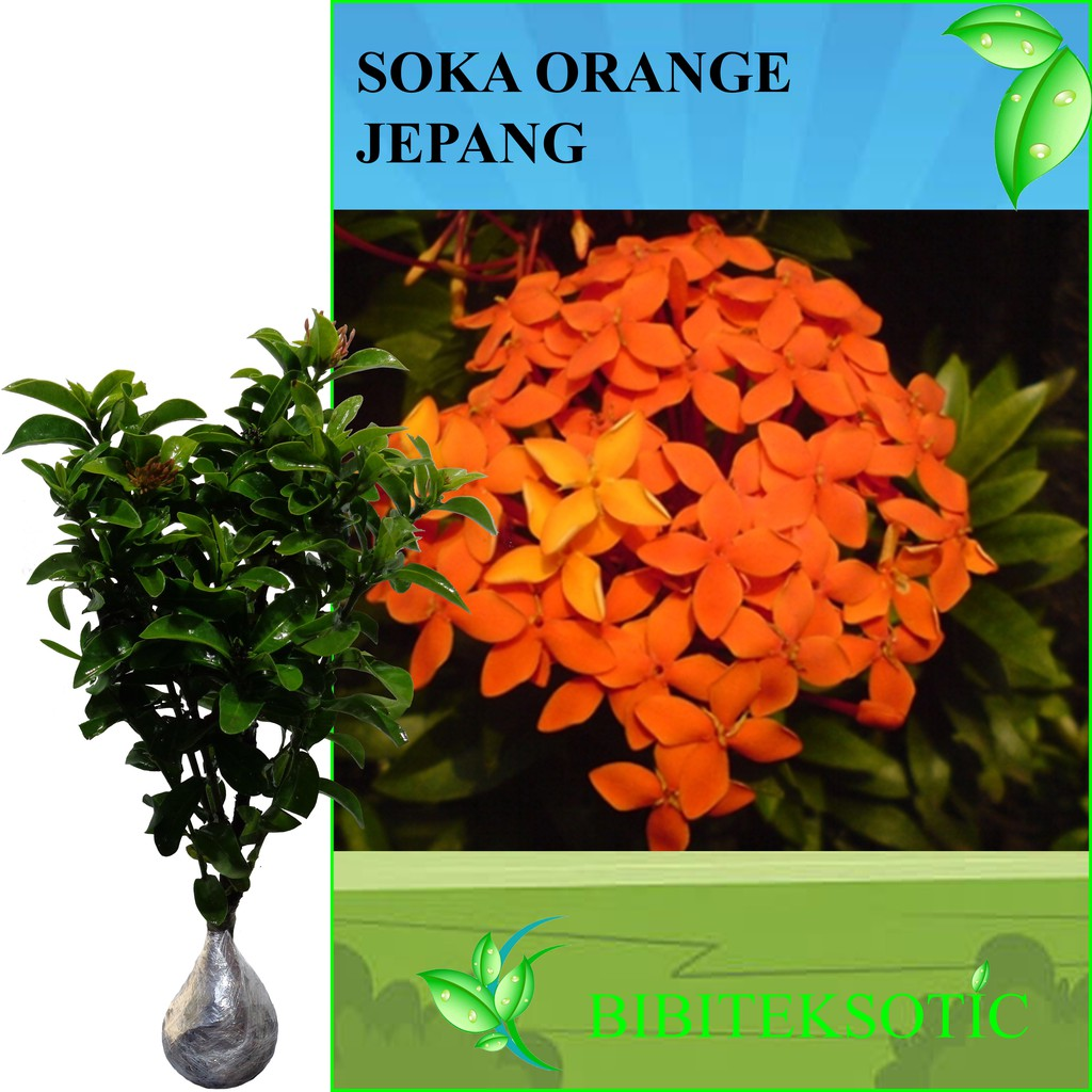 Tanaman Soka Orange Jepang Tinggi 30 40 Cm Shopee Indonesia