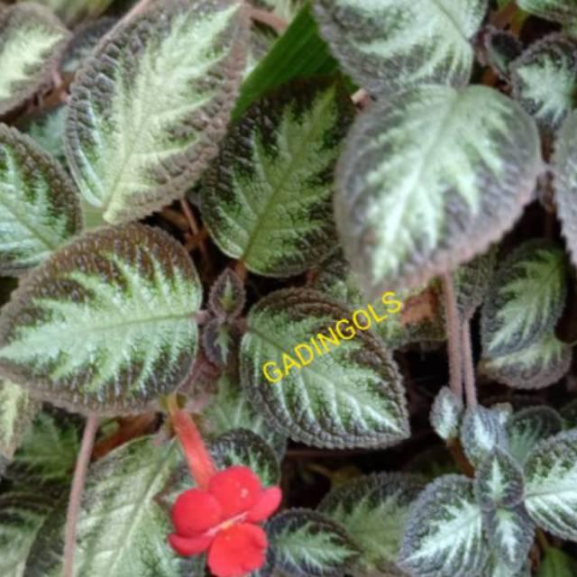 Tanaman Hias Bunga Gantung Episcia Cupreata Coklat Berbulu Shopee Indonesia