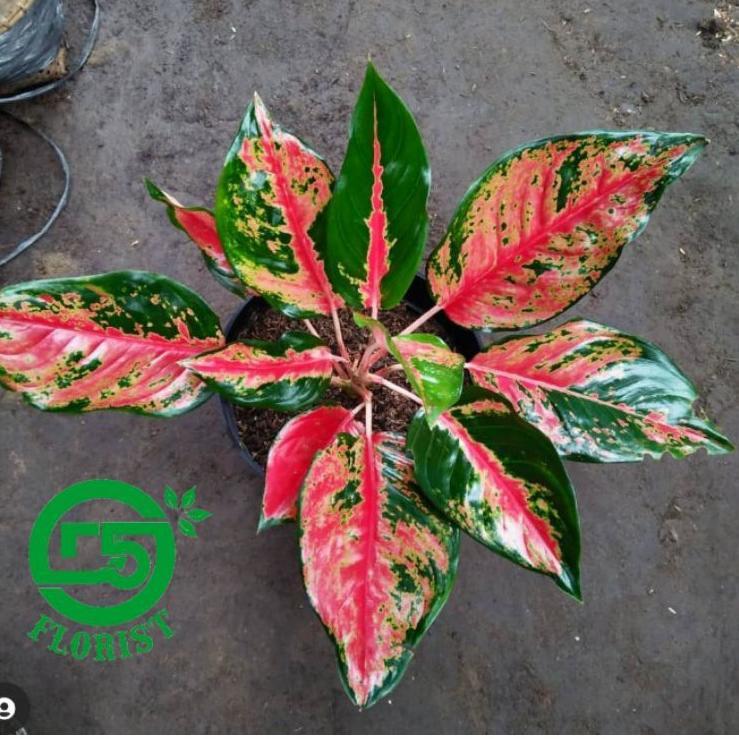 「PRPT」 aglonema kocin camelon indukan /aglonema red kocin / tanaman hias aglonema / tanaman aglonema