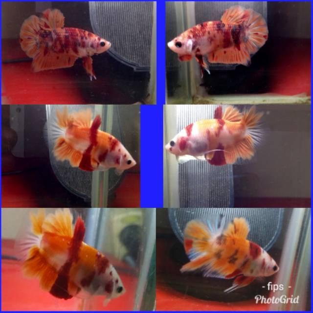 Jual Cupang Pk Koi Nemo Shopee Indonesia