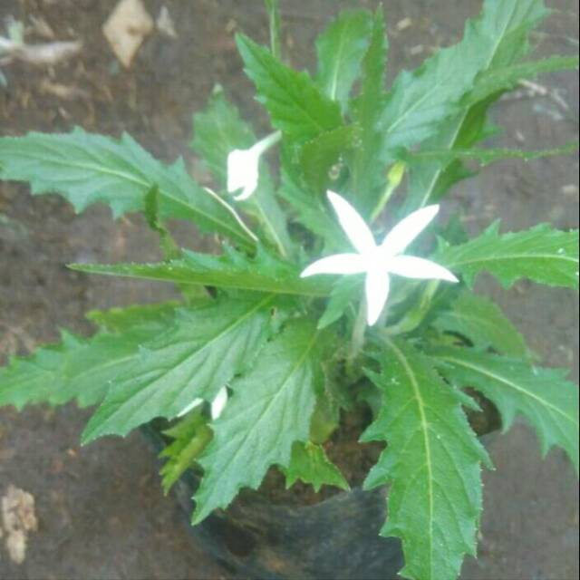 Tanaman Herbal Kitolod .