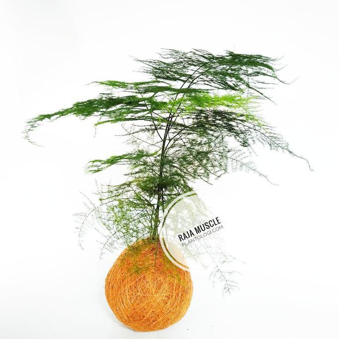 Vivaterra Plumosa Fern Asparagus Plumosus Vintage Plants Shopee Indonesia
