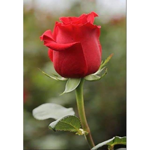 Tanaman Bunga Mawar Merah Bunga Mawar Asli Shopee Indonesia
