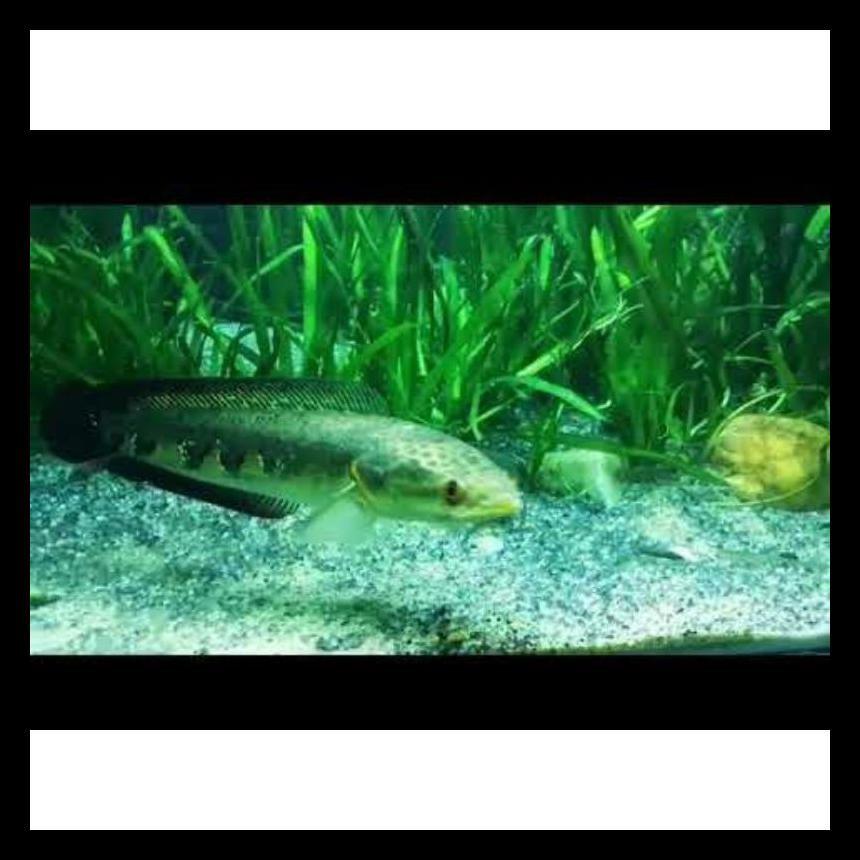 Terlaris Ikan Hias Channa Green Marulius Barito 8-9Cm