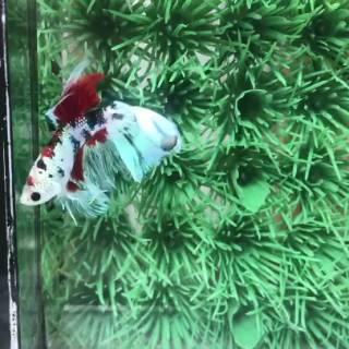 Ikan Cupang Marble