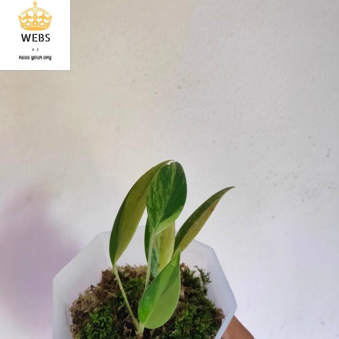 epipremnum amplissimum variegata menor