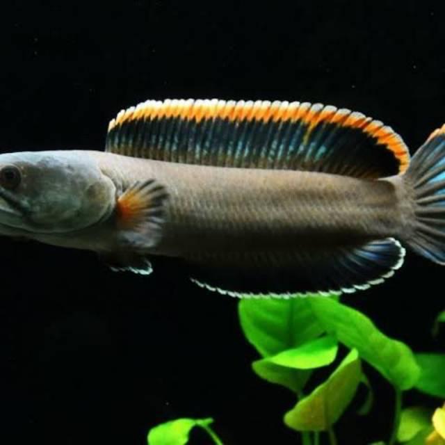 Ikan Hias Channa Gachua Shopee Indonesia