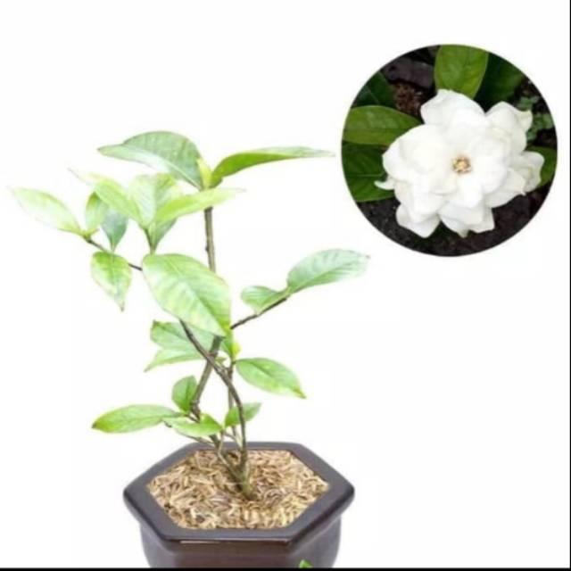 Tanaman Hias Bunga Melati Kaca Piring Melati Kacapiring Binomial Gardenia Shopee Indonesia