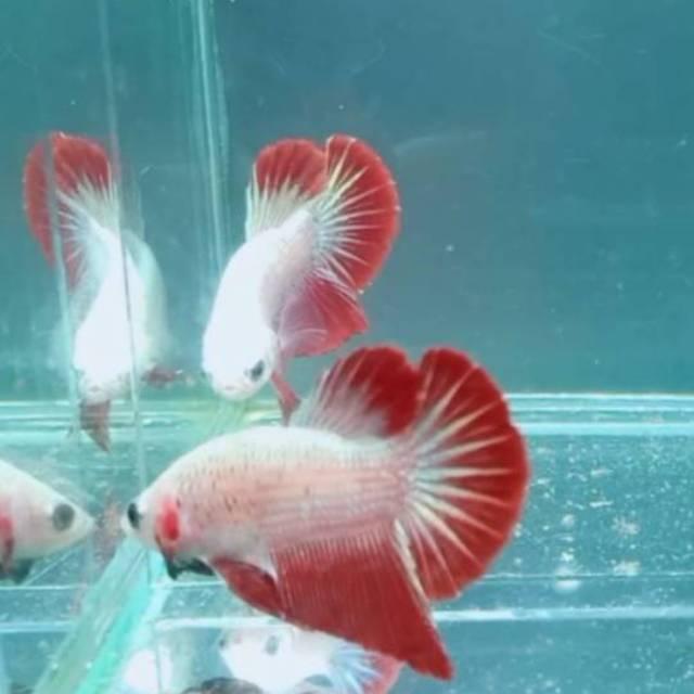 Ikan Cupang Dragon Red Hmpk Shopee Indonesia