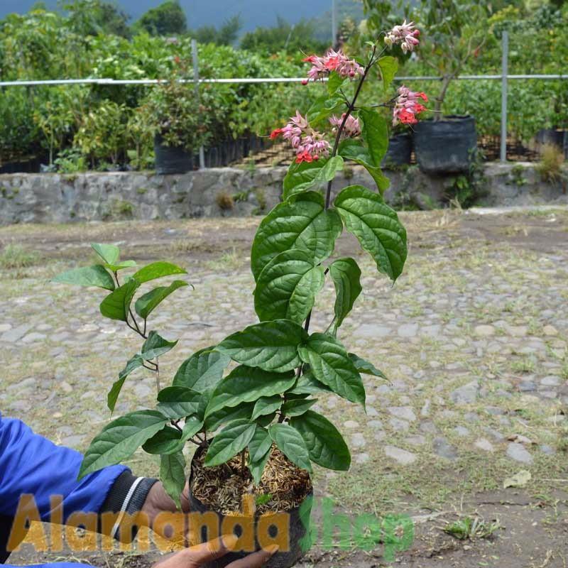 New Tanaman Nona Makan Sirih Ungu 40cm Shopee Indonesia