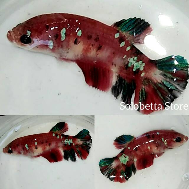 Ikan Cupang Female Koi Red Gakaxy Shopee Indonesia