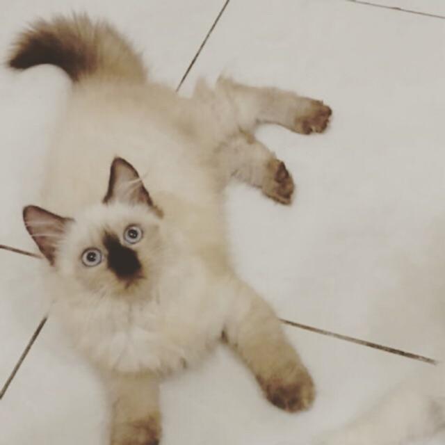Kucing Ragdoll Betina Umr 6 Bln Shopee Indonesia