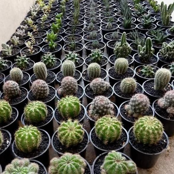 0s Tanaman Hias Kaktus Ownroot Mini Plus Pot Imut Lucu
