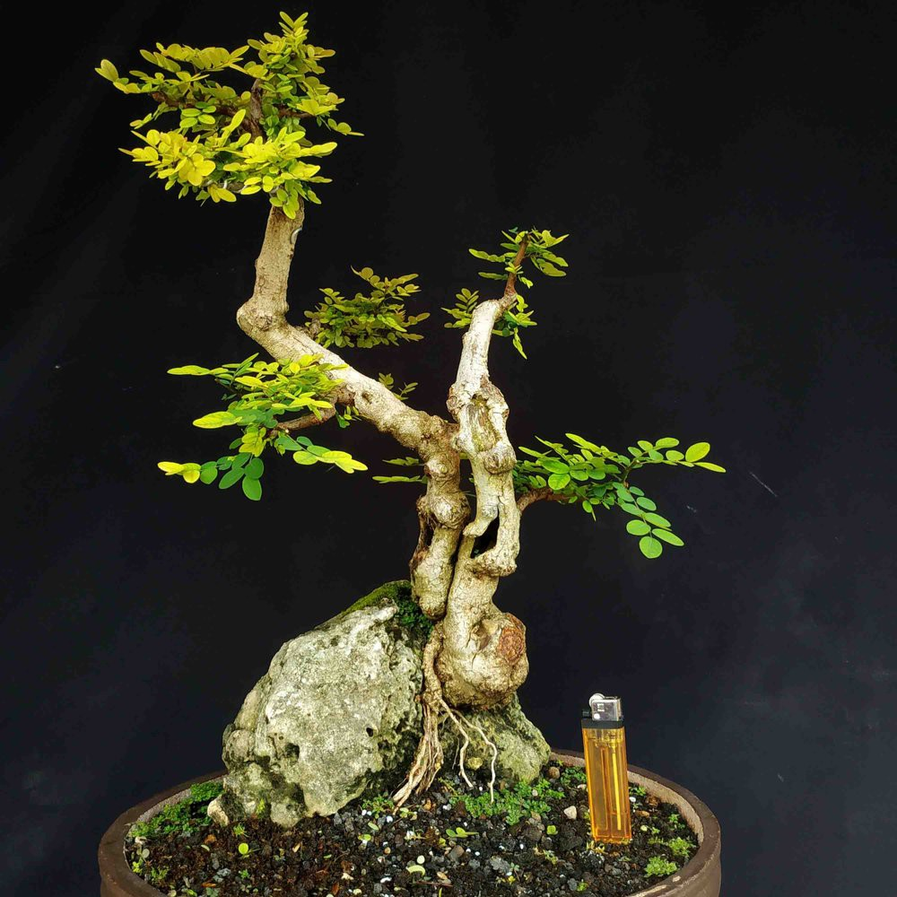 Bonsai Pohon Ileng Ileng Mangsi Mangsian On The Rock Natural