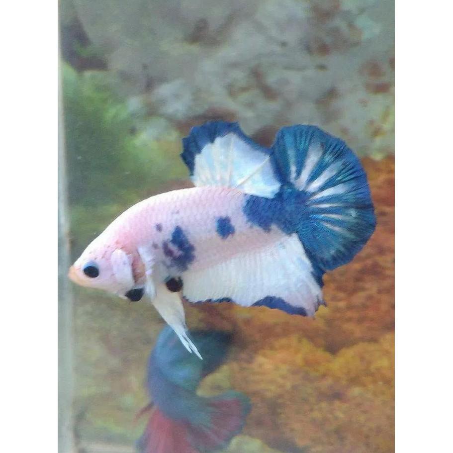 Harga Ikan Cupang Blue Rim 2019 Aneka Ikan Hias