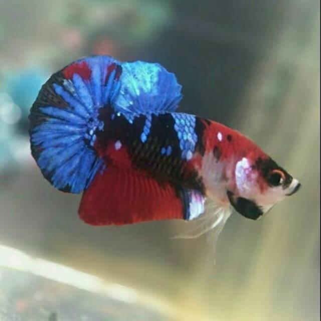Ikan Cupang Plakad Koi Galaxy Avatar Shopee Indonesia