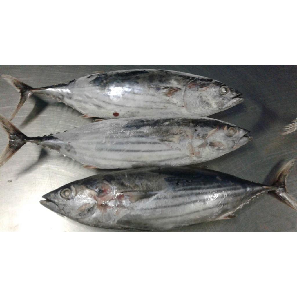 Ikan Cakalang Tongkol Putih Fresh Shopee Indonesia