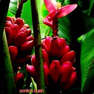 Tanaman Hias Bibit Bunga Kenanga Merah Asli Shopee Indonesia