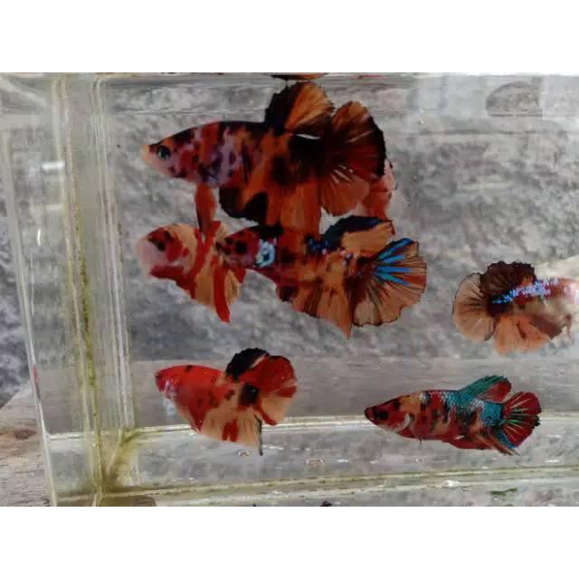 Ikan Cupang Candy