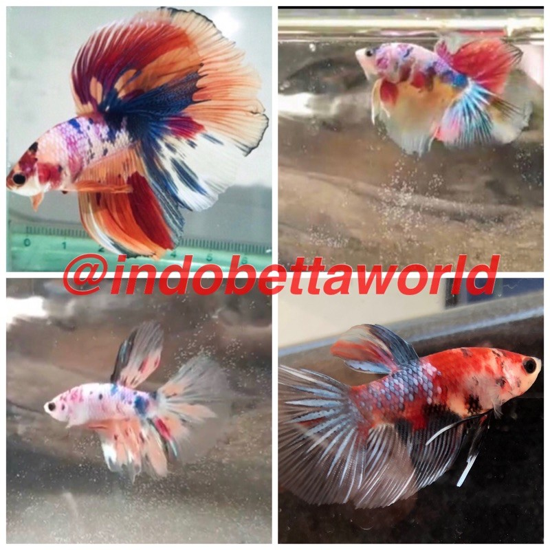 Cupang Halfmoon Fancy Multicolor Halfmoon Multicolor Nemo Halfmoon Fancy Multicolor Nemo Shopee Indonesia