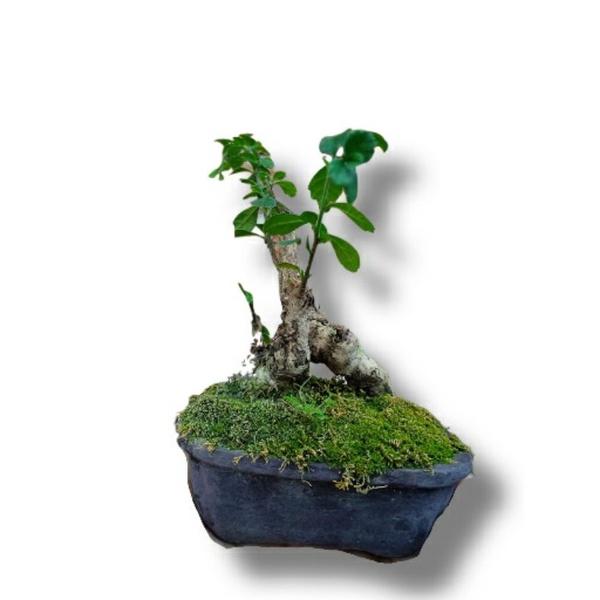 Tanaman hias bonsai serut mini / Bonsai serut /Tanaman hias bonsai mini / BONSAI SERUT / BONSAI MINI