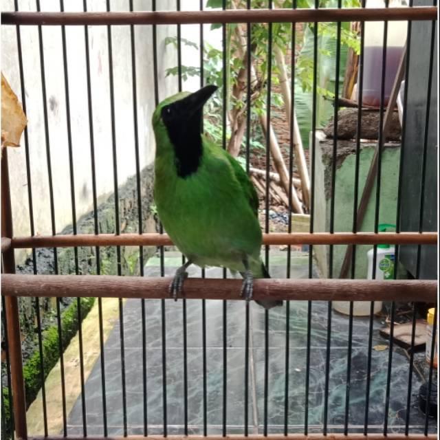 Burung Cucak Ijo Cucak Daun Besar Shopee Indonesia