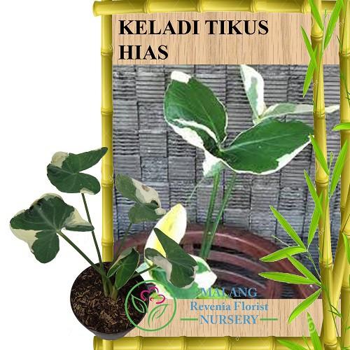 Tanaman Keladi Tikus Variegata Shopee Indonesia
