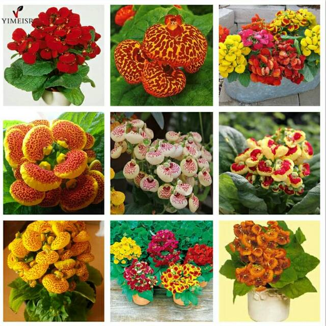 Calceolaria Pocketbook Plant Flower Seeds 25 Annual