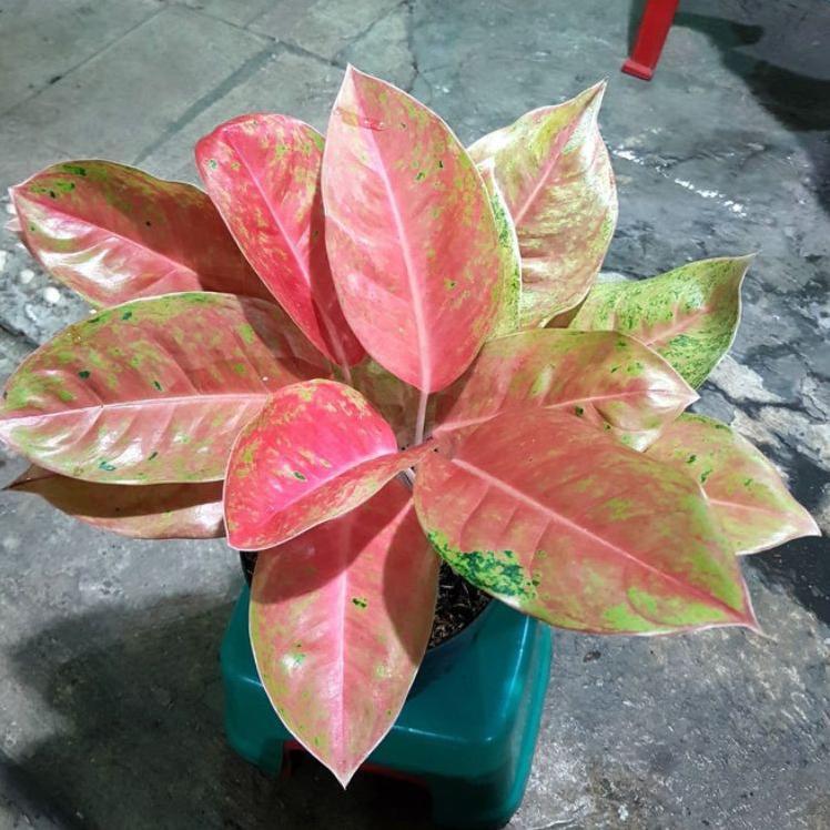 Best Now Aglonema Big Roy mutasi pink